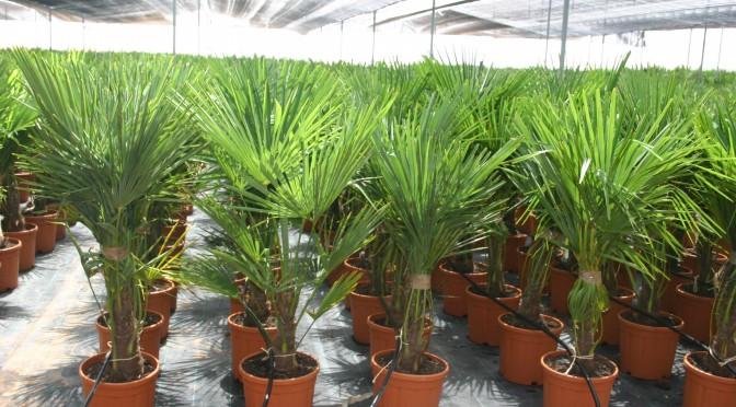 Trachycarpus fortunei 10 ltrs